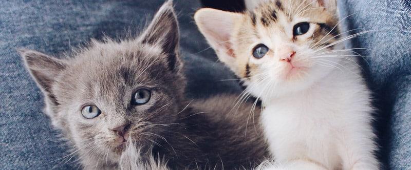 Deux mignons petits chatons trop trognons. L'un est gris et l'autre blanc et roux